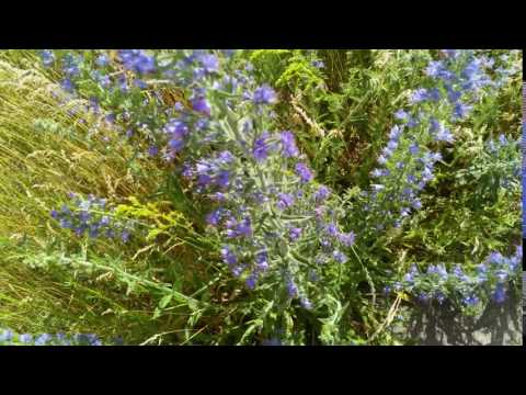 Релакс природа в HD,Удивительные полевые цветы на ветру