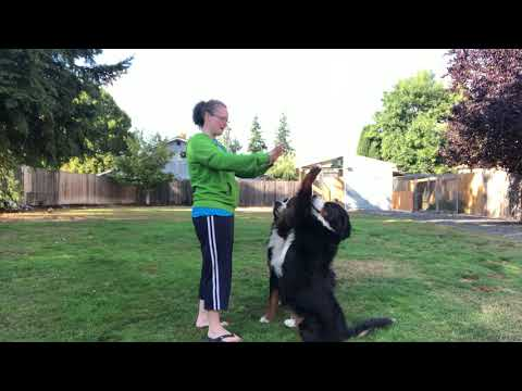 Train your dog tricks! Learn how to start training your dog fun tricks with positive reinforcement.