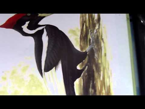 Ivory Billed Woodpecker song.00008