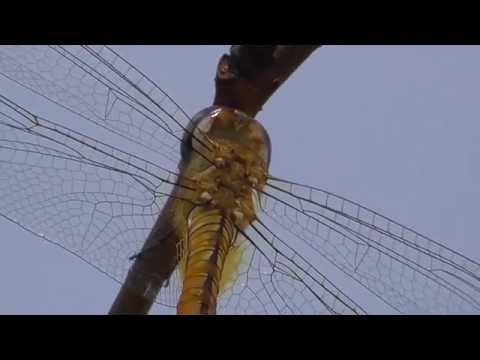 Globe skimmer (Pantala flavescens) in Tokyo