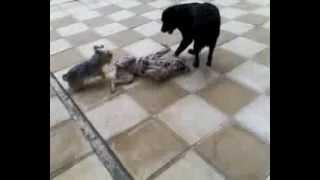 Labrador Vs Dalmatian 2