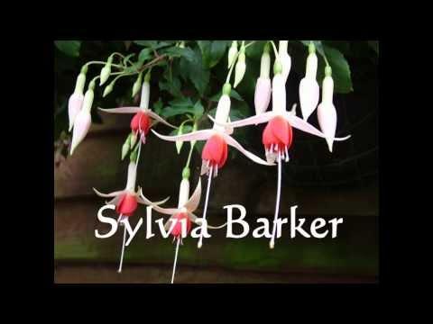 Комнатные цветы калачики (пеларгонии). Уход в домашних