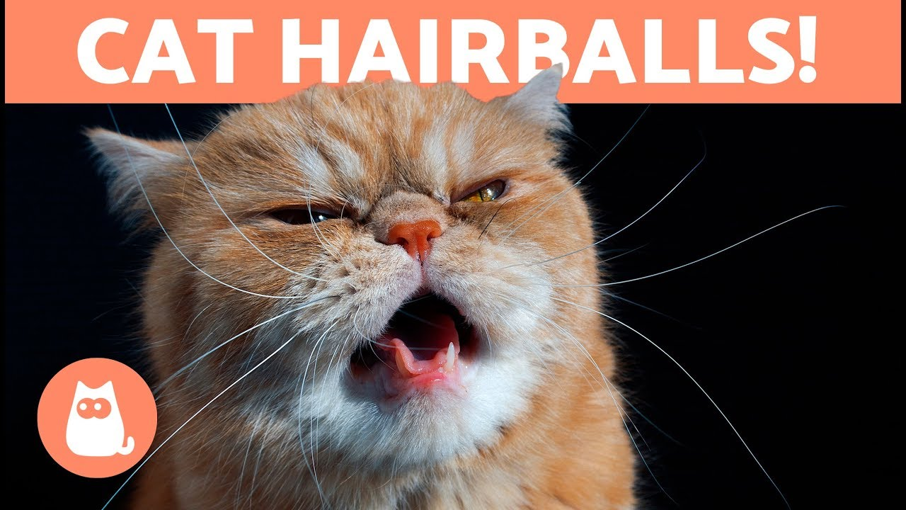 HAIRBALLS in CATS , Symptoms and Treatment Options
