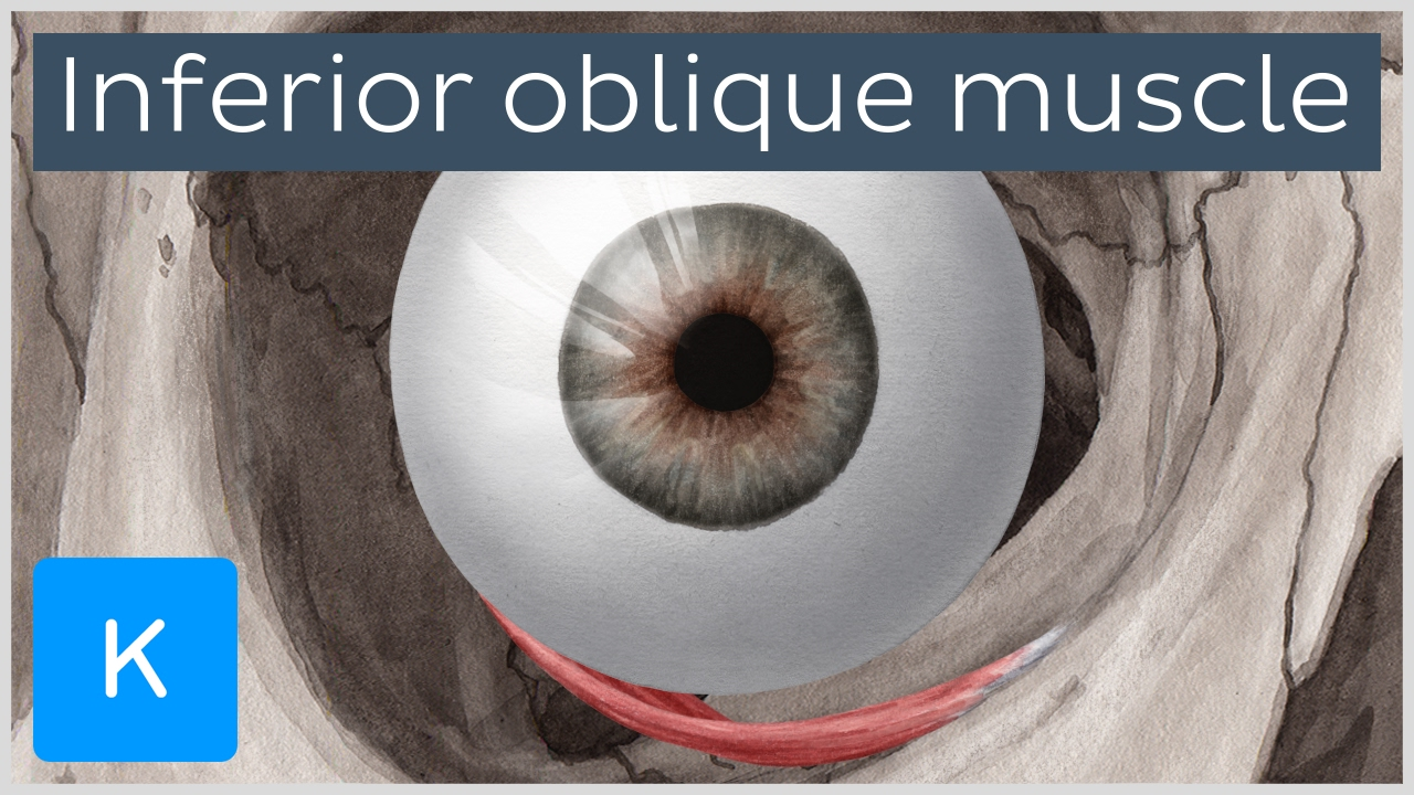 Inferior oblique muscle of the eye - Human Anatomy | Kenhub - YouTube