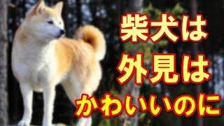 日本の柴犬・・・「飼い主に忠実」しかしちゃんと躾をしないと・・・。 ...