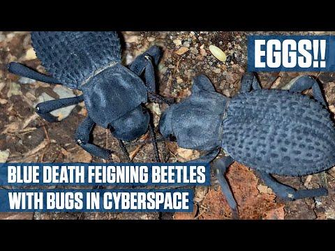 Eggs Blue Death Feigning Beetles #bluedeathfeigningbeetles #asbolusverrucosus #petbeetles
