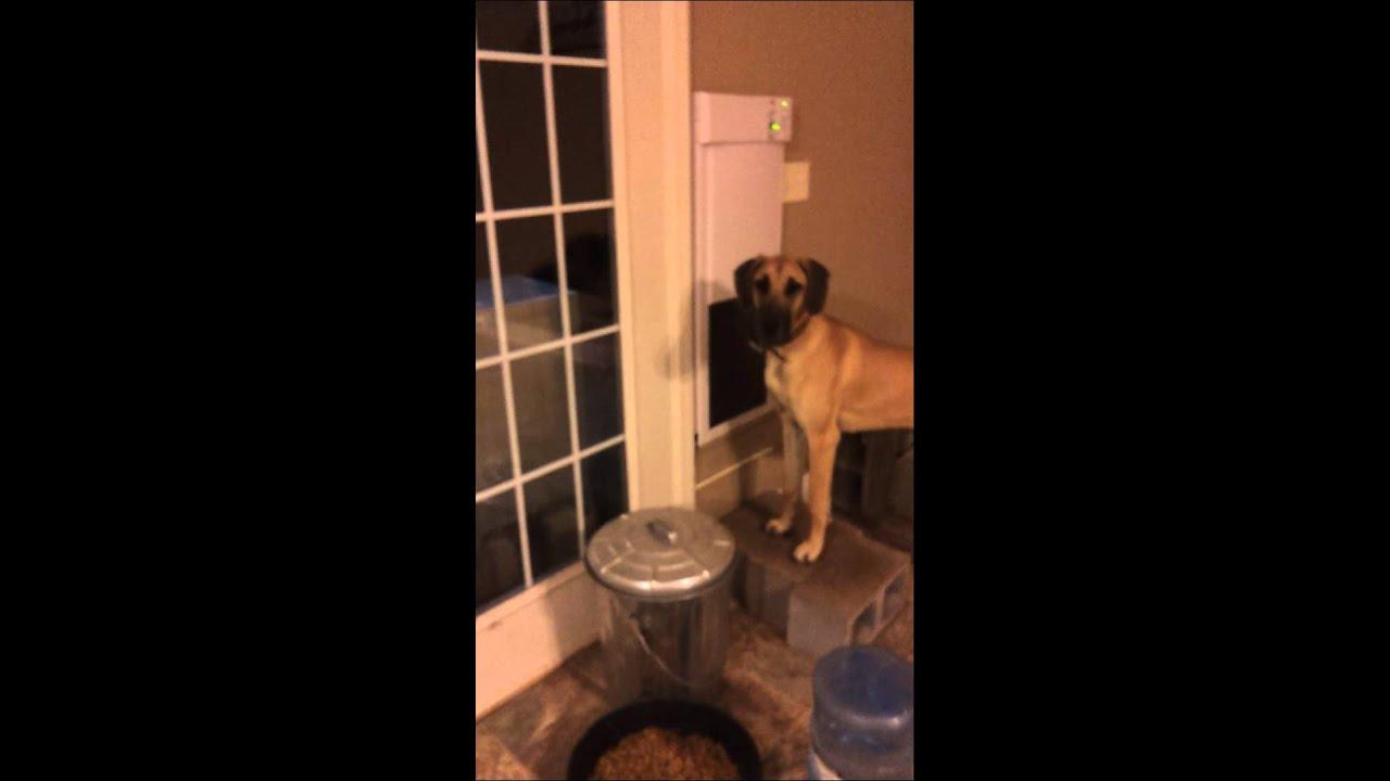 Great Dane Electric Pet Door Youtube