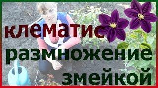 Клематис размножение змейкой! Посадка выращивание цветение уход болезни виды сорта  клематиса.