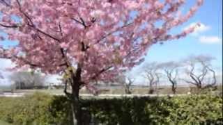 空堀川の桜(東村山浄水場付近)