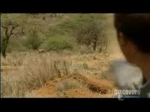Bear encounters african lions