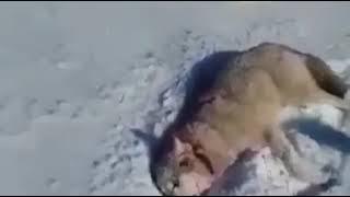Волк животное не предсказуемое