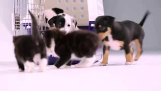 Котята впервые встречают щенков
