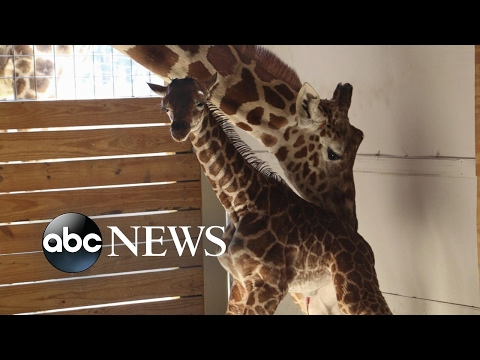 Thumbnail: Millions waiting for viral sensation April the giraffe's calf to be named