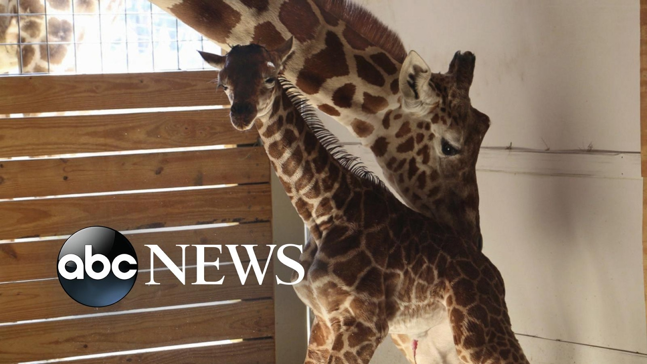 millions-waiting-for-viral-sensation-april-the-giraffe-s-calf-to-be-named