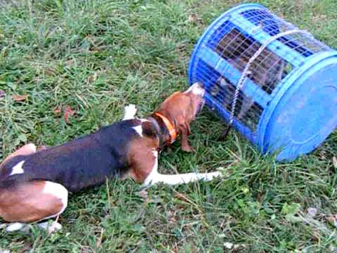 Coon Hound 'PR' Double H Handsom Hunter roll cage live raccoon