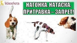 Нагонка, натаска и притравка охотничьих собак под ЗАПРЕТ? Videoohota