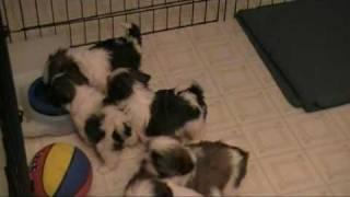 Shih Tzu Puppies.  Too Cute!