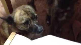 琉球犬みたいなミックス犬のミーミーキーキー 納豆のパックペロッペロッ.