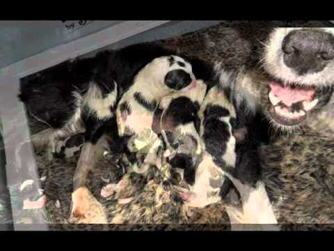 Katie, an unwanted Border Collie, dropped off at a kill shelter delivers 9 puppies