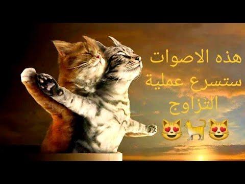 صوت يحفز القطط على التزاوج صوت قطة تنادي على الذكر للتزاوج Motivate Cats To Mate Youtube