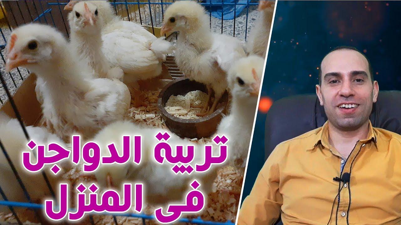 تربية الفراخ فى غرفة الطيور / صح ام خطاً