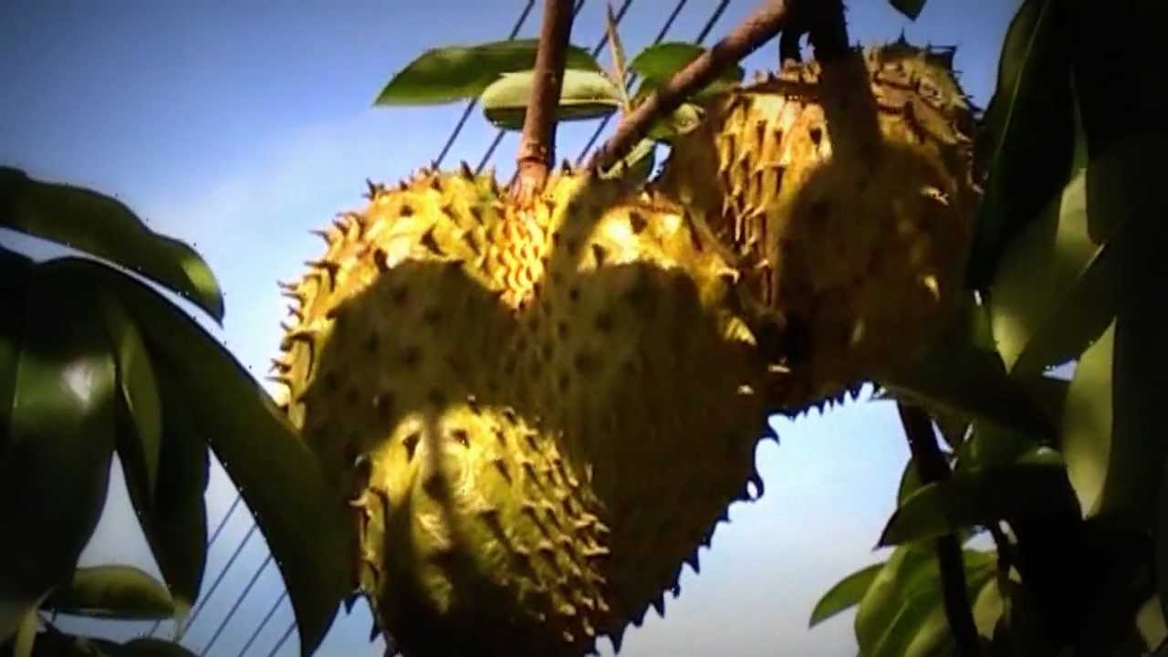 Where To Buy Soursop Graviola Fruit Extract Pills - Reviews