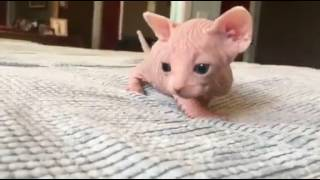 Adorable 4 week old Sphynx Kitten