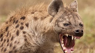 Original Owner Surprises HYENA on its 4 year old birthday!