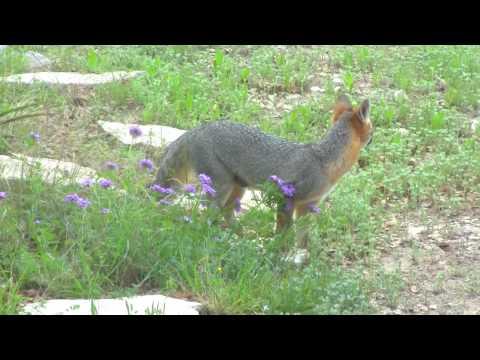 grey fox in Dripping Springs Texas
