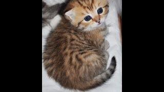 Шотландские вислоухие коты