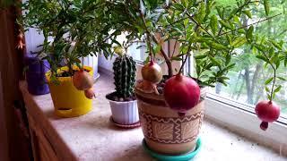 Зимний уход за комнатными растениями. Пересадка граната Punica, золотой рыбки Columnea