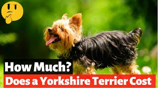 How Much Does a Yorkshire Terrier Cost in 2021?