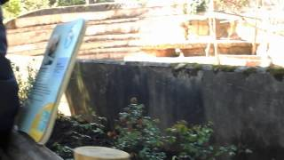 Baboons at paighton  zoo