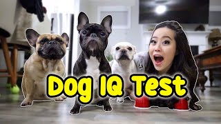 french-bulldog-intelligence-test