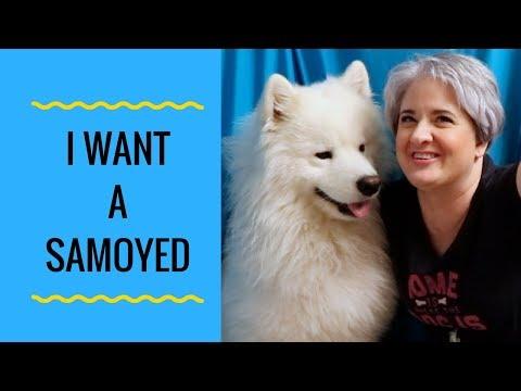 Think You'd Like a Samoyed Dog - I Want a Samoyed Dog