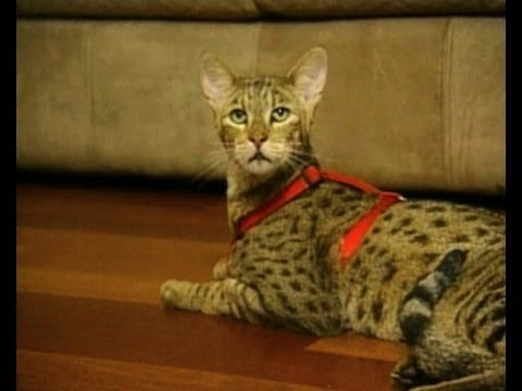 A Pretty $22,000 Californian Ashira Kitty