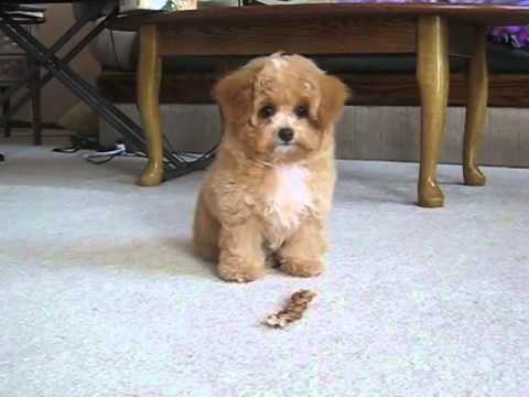 Light Brown Pomeranian Puppies | www.pixshark.com - Images ...