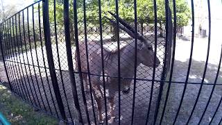 Антилопа подошла близко к сетке ограждения в зоопарке