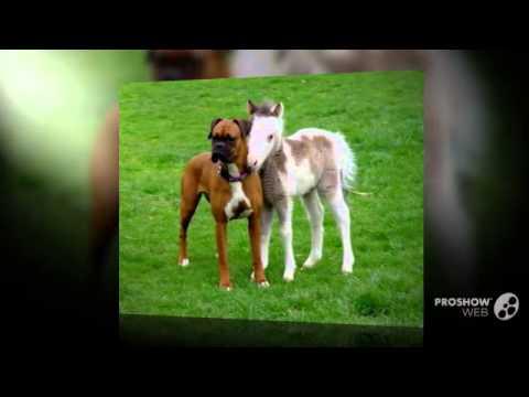 Miniature Boxer Dog breed - YouTube
