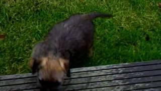 Scip Onze Border Terrier Pup
