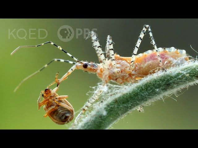 You Can't Unsee the Assassin Bug's Dirty Work   Deep Look
