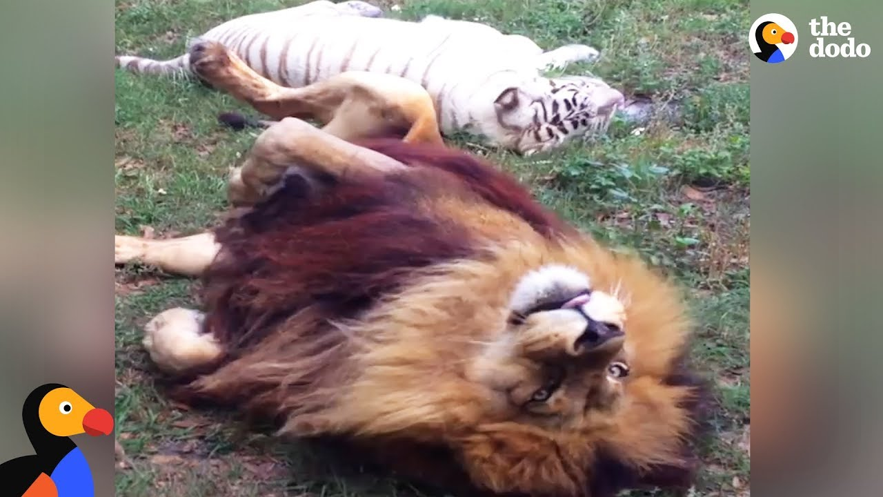 Animal Odd Couples Youtube tiger and lion rescued from breeding ligers retire together | the dodo odd  couples