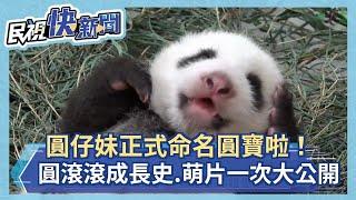 快新聞/「我叫圓寶啦!」  貓熊寶寶圓滾滾成長史、萌照一次大公開!-民視新聞