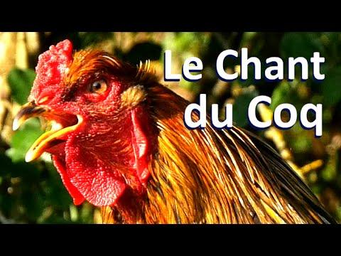 Le Chant du Coq (Brahma Perdrix)