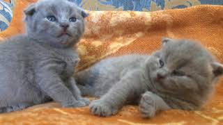 Вислоухие Британские Котята!!!