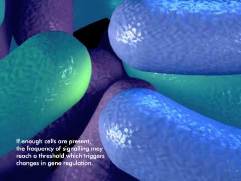 How bacteria form a biofilm