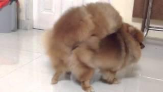 Pomeranian Mating!!!! Epic