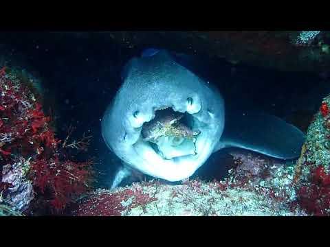 ネコザメがもぐもぐ 稲取 ダイビング