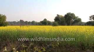 Fields of rapeseed or mustard turn Indian landscape yellow