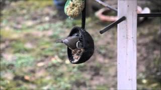 Хохлатая синица - Parus cristatus